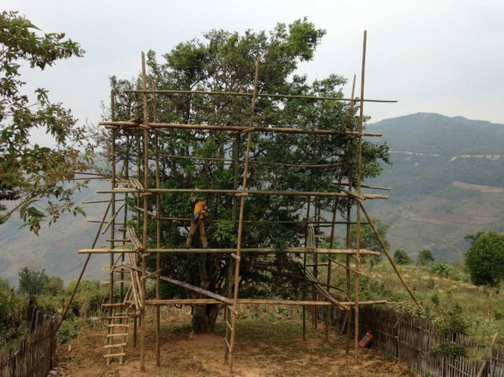 五大茶王级古茶树