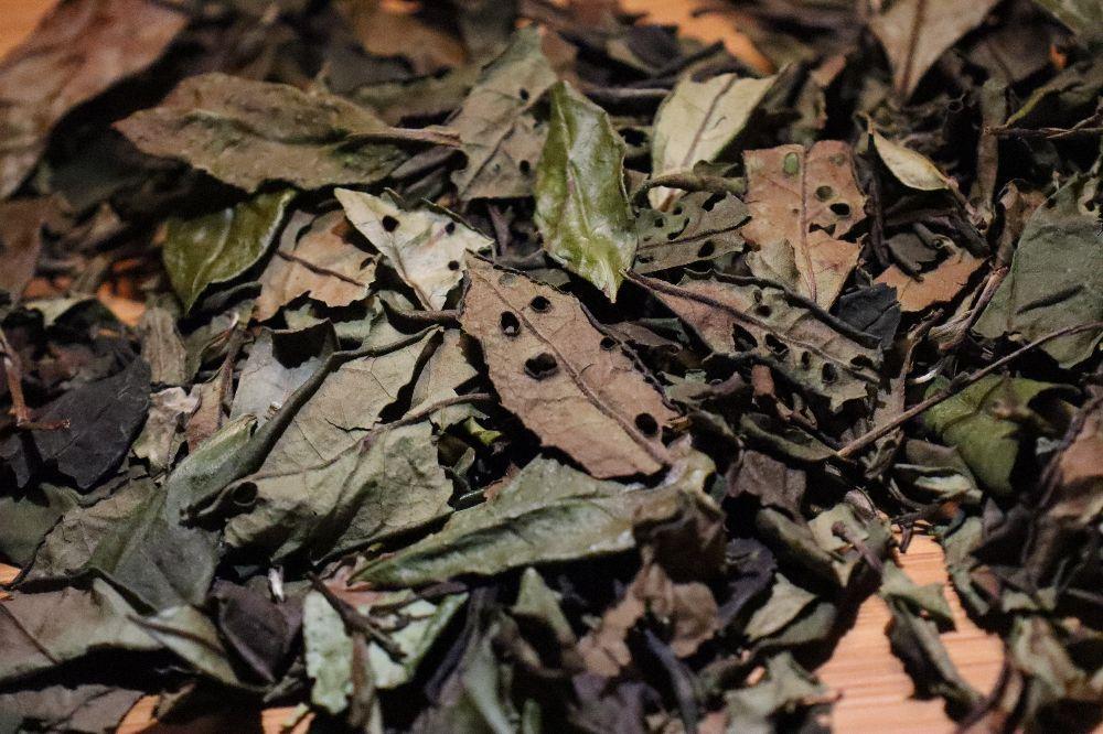 【晒茶记】不起眼被忽略的一泡荒岭深山老枞白茶