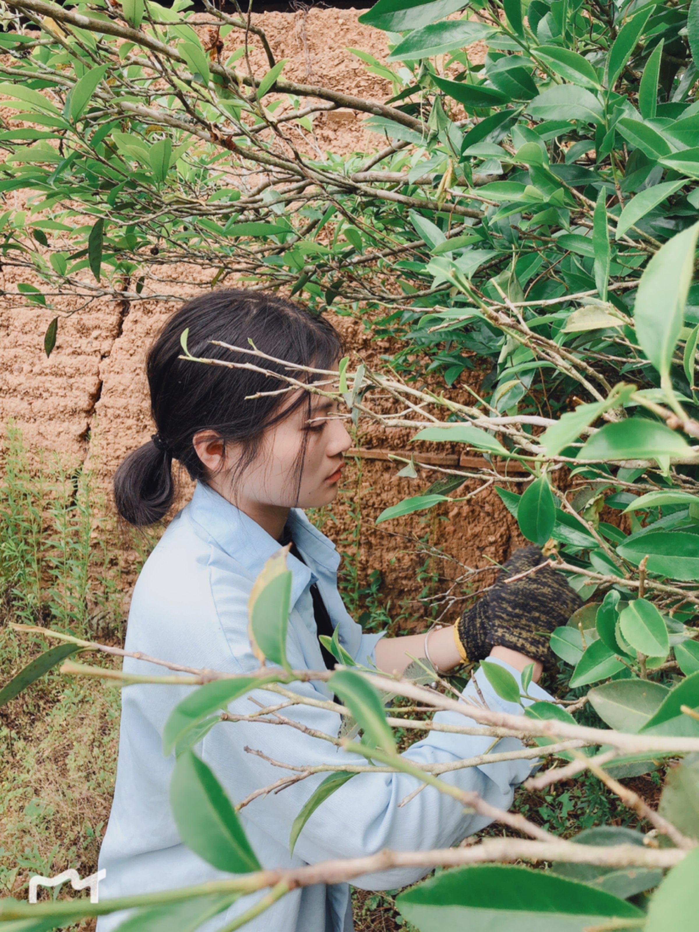 一棵百年老枞茶树,一棵树采摘一天。