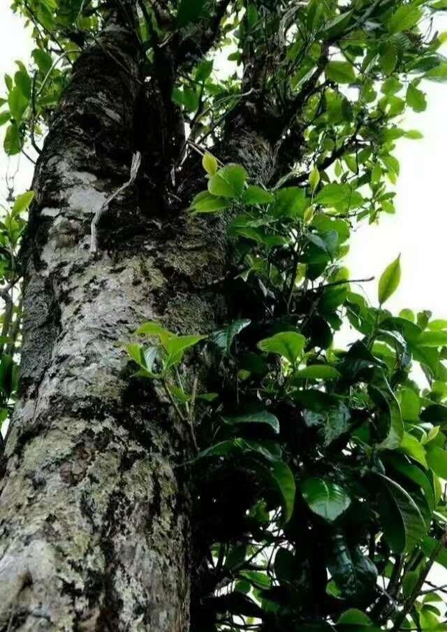 佤山纯野生古树红茶