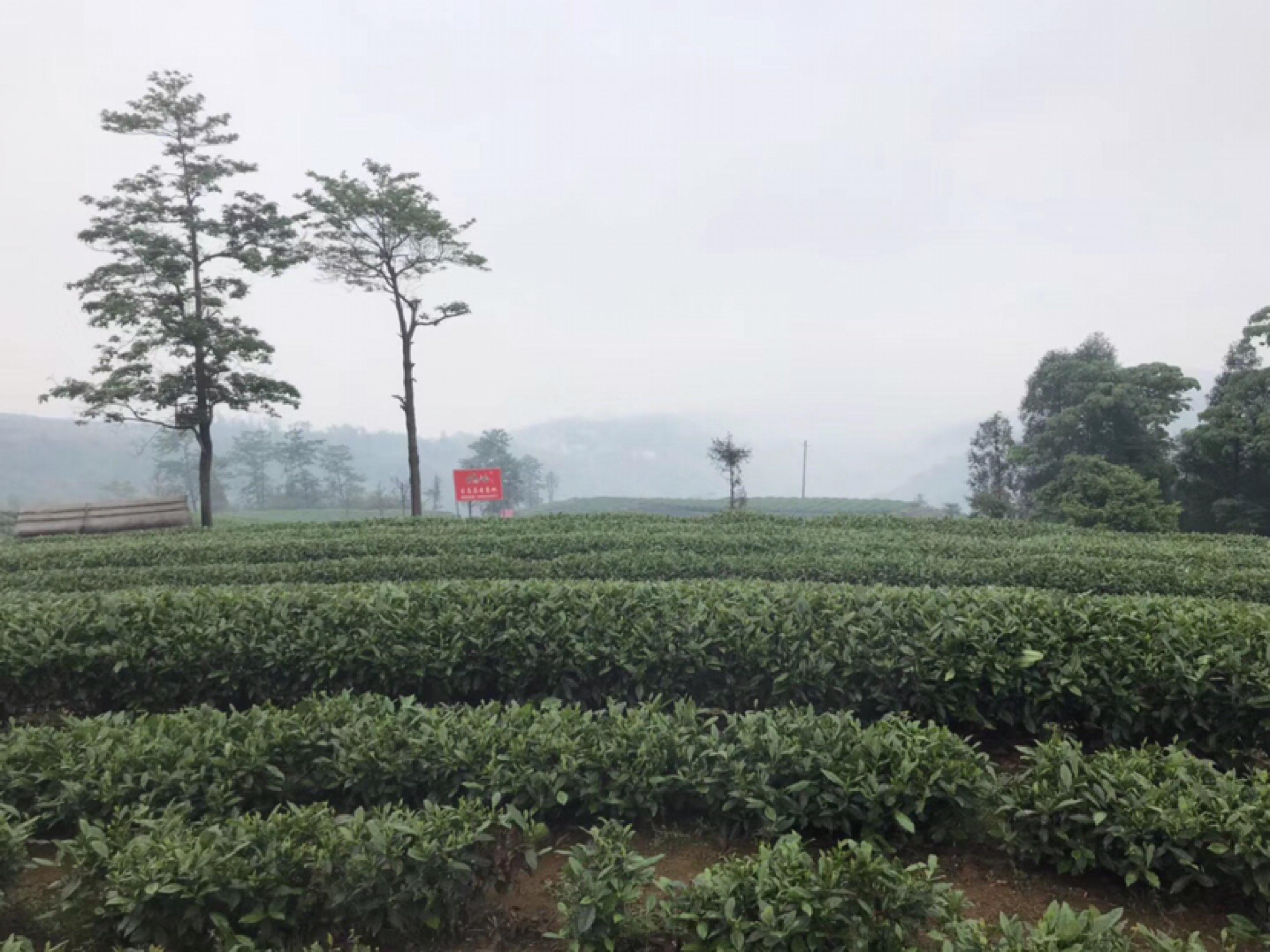 首次福鼎寻茶之旅