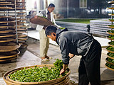 探访云南古树白茶的制作过程